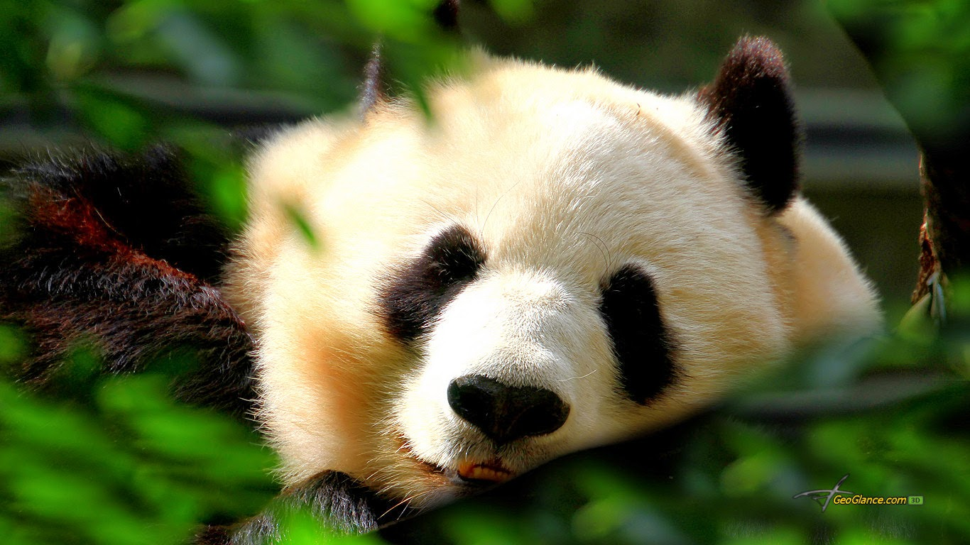 BABY PANDA WALLPAPER HD WALLPAPERS IMAGE DESCRIPTION