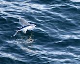 נפלאות הבריאה | דגים מעופפים