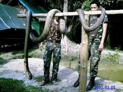 Самая большая кобра
