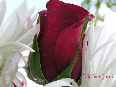 Rosa roja y feliz Sant Jordi