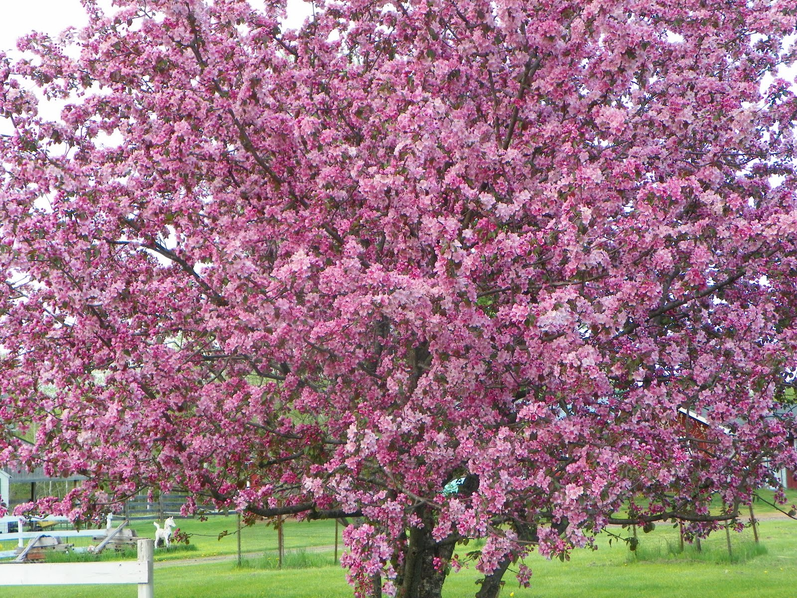 Flowering crab apple trees beautiful