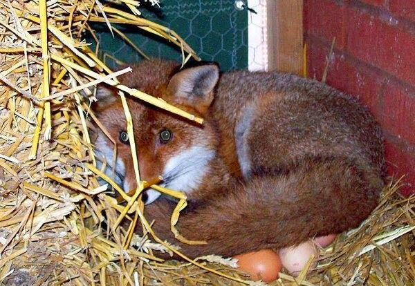 Funny animals of the week - 28 March 2014 (40 pics), fox laying eggs