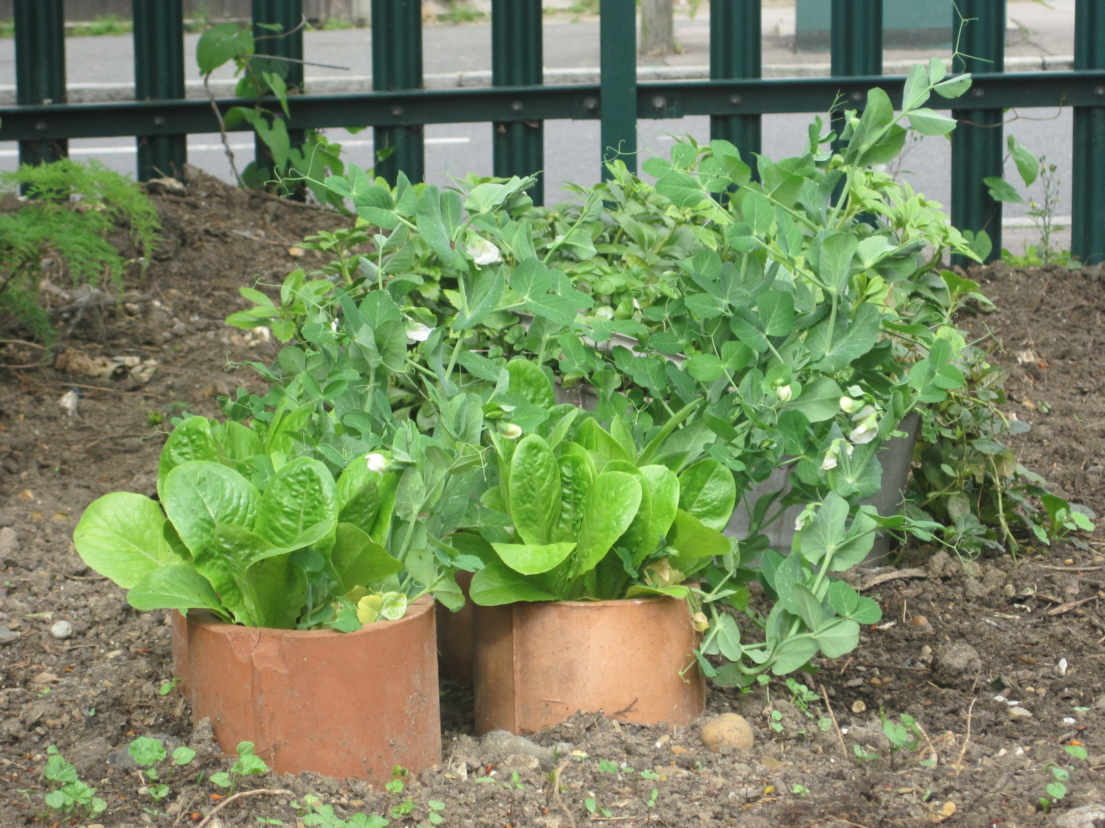 Tomato marmande agm seeds d t brown vegetable seeds - Imaginative Use Of The Terracotta Pipes And A Galvanised Bucket I Hope To Encourage The Team To Eat The Lettuces And Peas Growing Out Of The Pipes