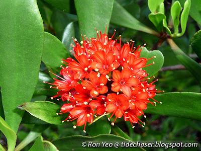 Teruntum Merah (Lumnitzera littorea)