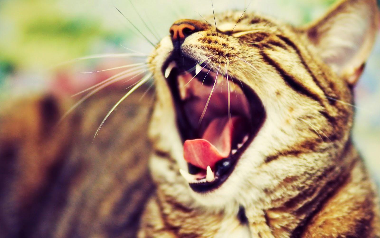 10 Gambar Kucing Menganga Lucu
