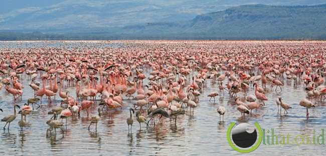 Danau Nakuru, Kenya