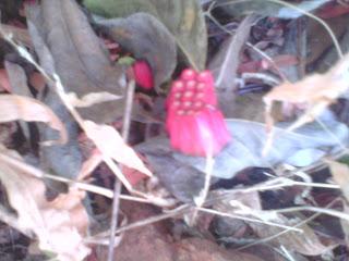 Annona squamosa fruit