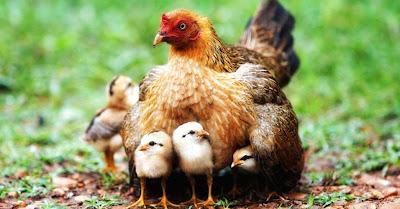 Mãe galinha com os pintainhos debaixo das asas