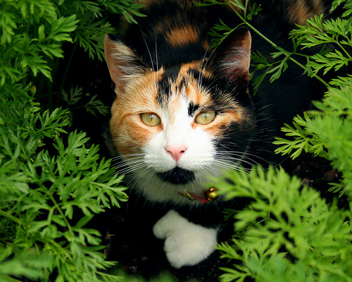 Calico Cat Trivia | Pawsitively Pets