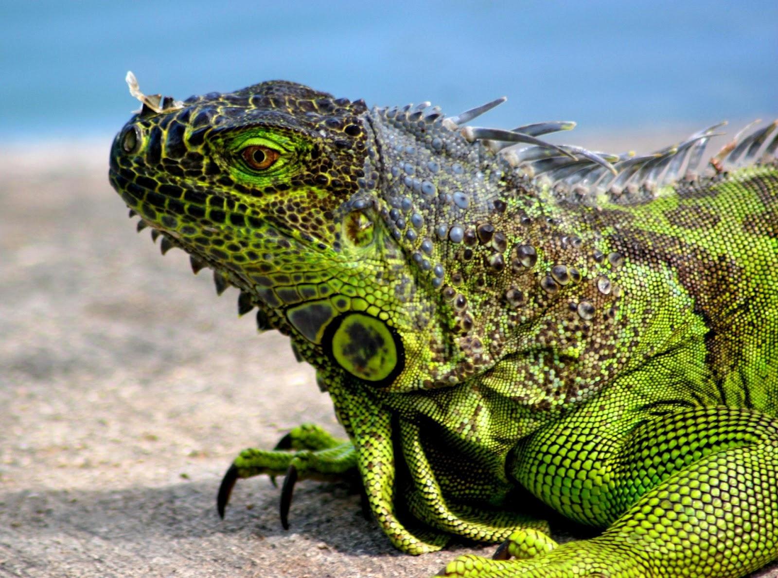 http://2.bp.blogspot.com/-10xaqjk38_g/T-bqkOPYjzI/AAAAAAAACvw/dF1lzJzRchY/s1600/iguana+pictures.jpg