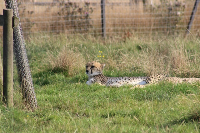 cheetah whipsnade