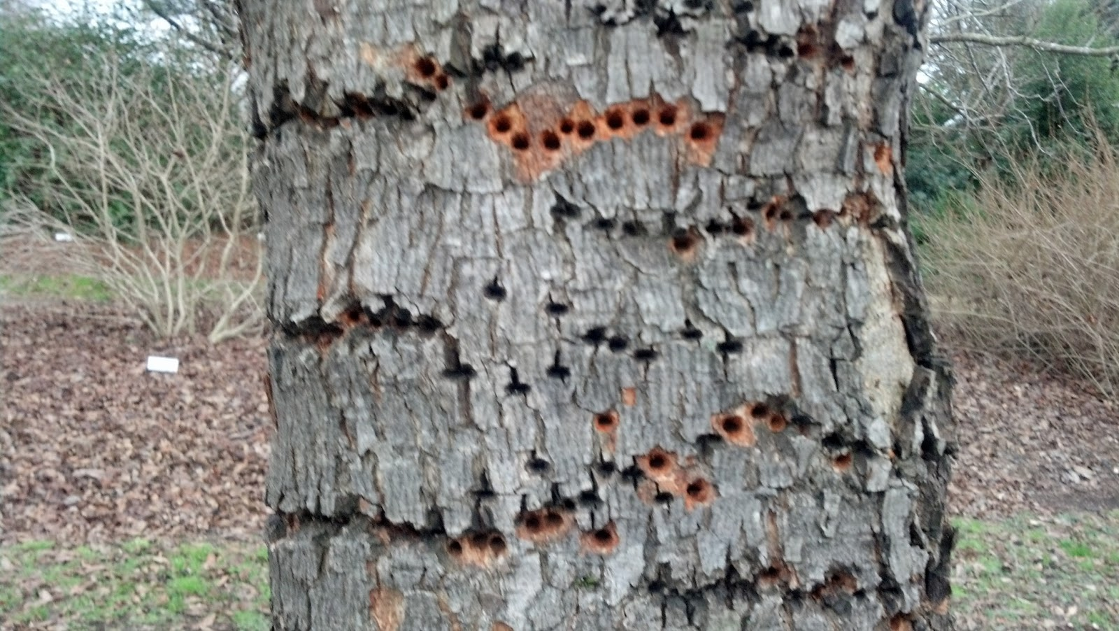 Welcome To The Pitt County Arboretum Woodpecker Damage