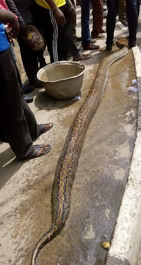 Huge Python Killed At Opebi, Ikeja
