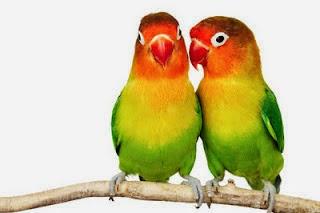 Foto Burung Lovebird Terbaik