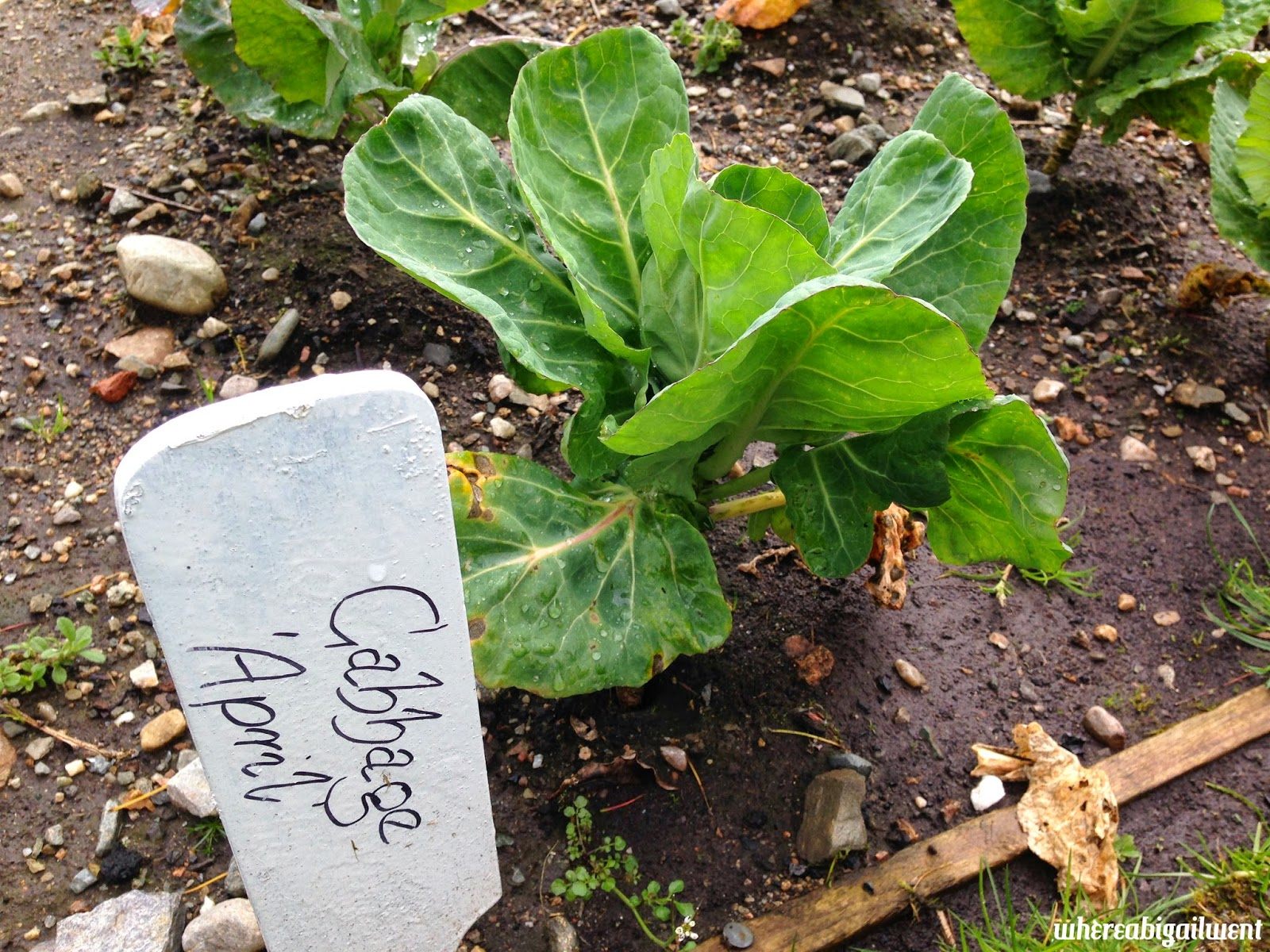 Food Garden Cabbage April