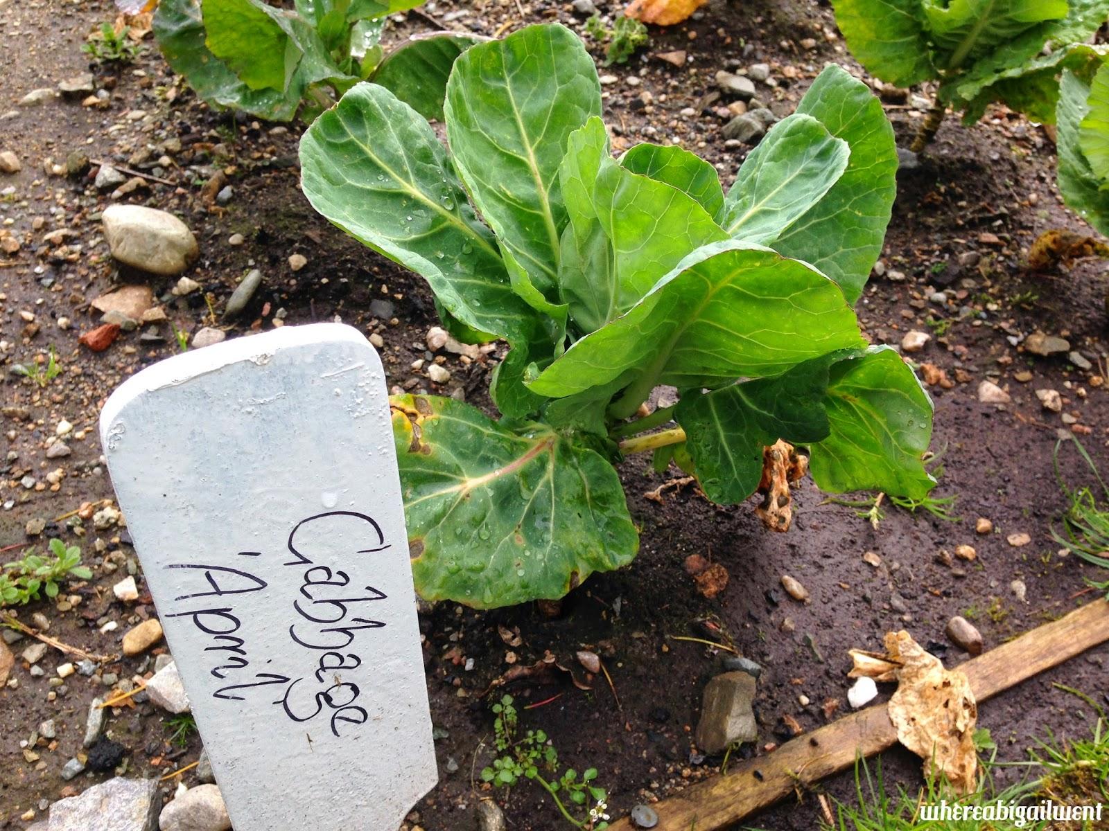 Food Garden Cabbage April