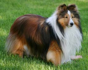 6 Shetland Sheepdog | Natural Beauty