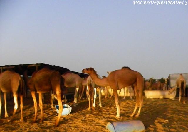 Mercado de camellos en Doha