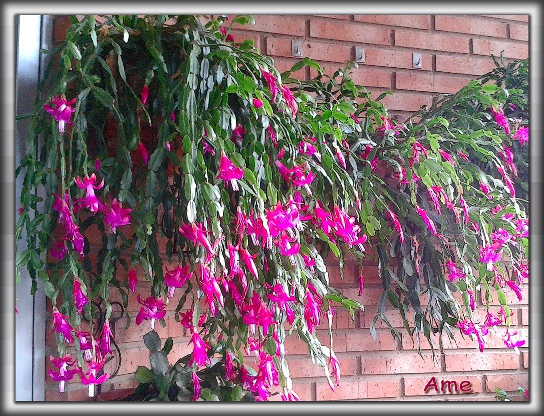 Plantas de la rioja schlumbergera x buckleyi cactus de - Cuidados planta navidad ...