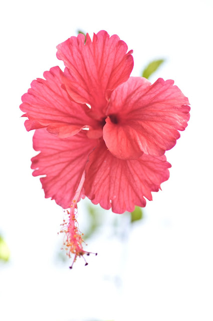 A floating hibiscus