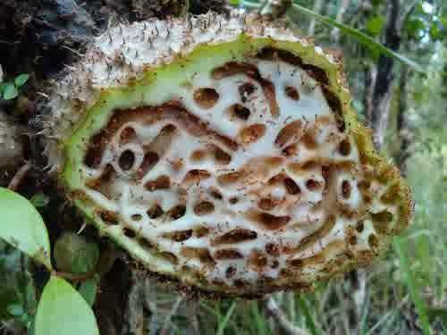 Khasiat Tumbuhan sarang semut papua