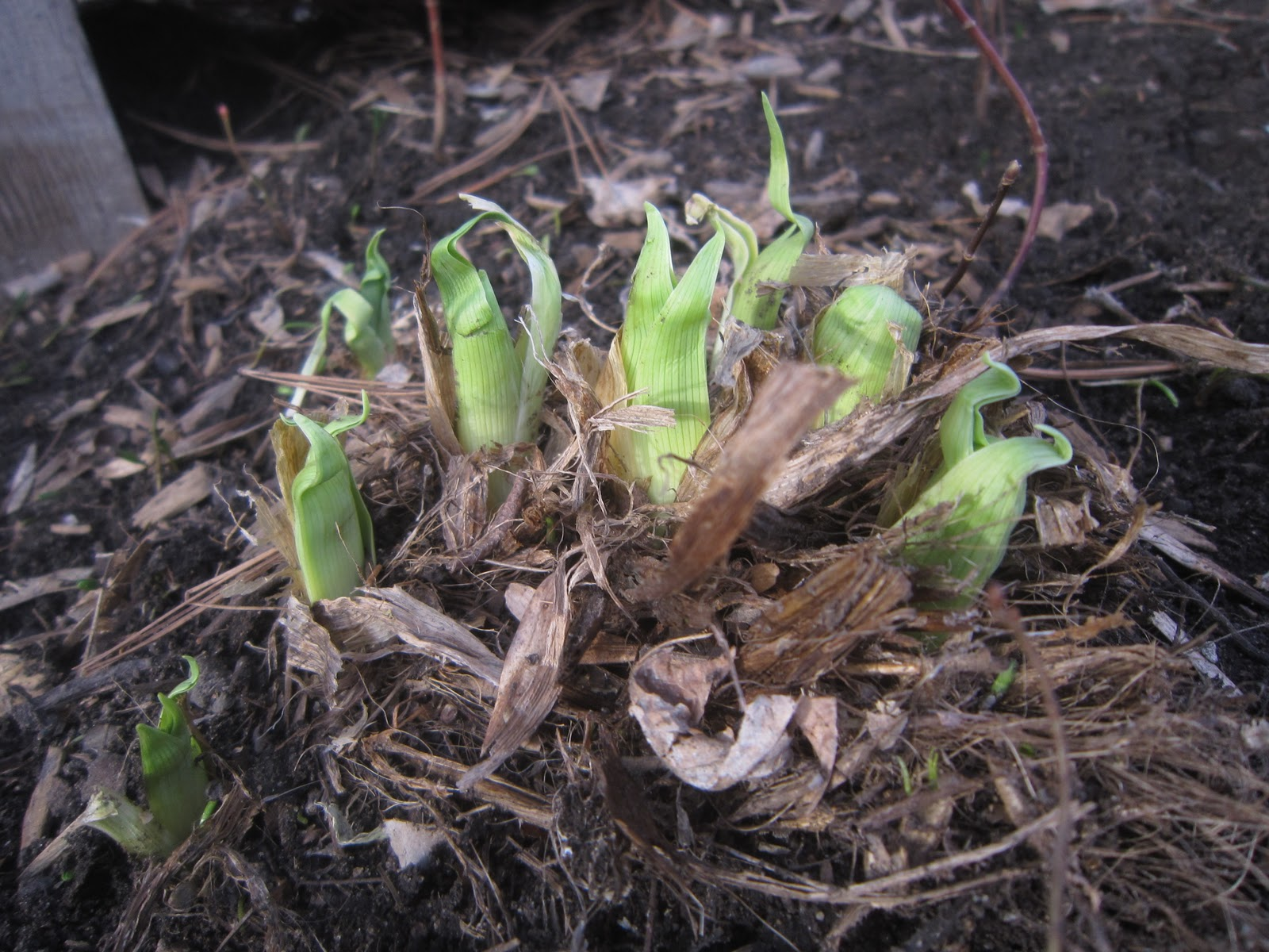 Chuck does art identifying bulbs growing in early spring by shoots day lily shoots will have multiple triangular leaves coming off of a central point but unlike irises they are wrapped around each other instead of side by izmirmasajfo