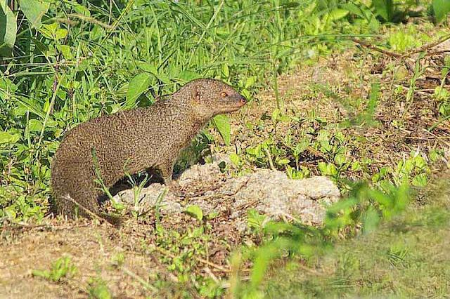 mongoose, field, Herpestes javanicus