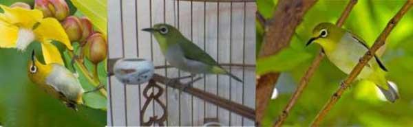 7 jenis burung pleci yang bagus dan suara gacor nya