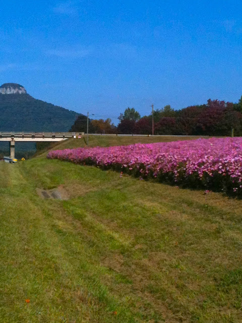 Beautiful wildflowers growing all along the interstate in North Carolina.