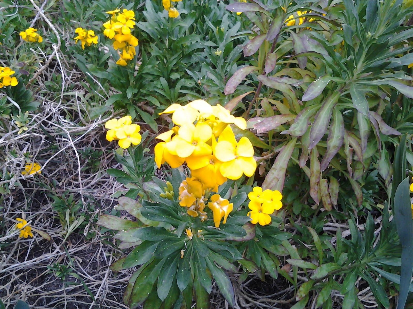 Tienda de plantas alhelies amarillos semillas - Plantas para arriates ...