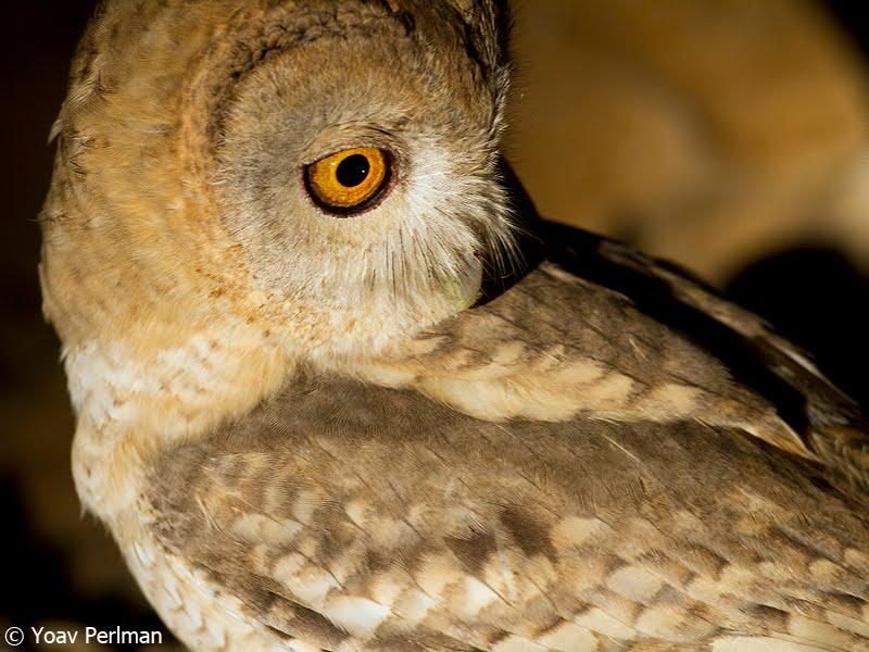 Desert Tawny Owl, Judean Desert, February 2012