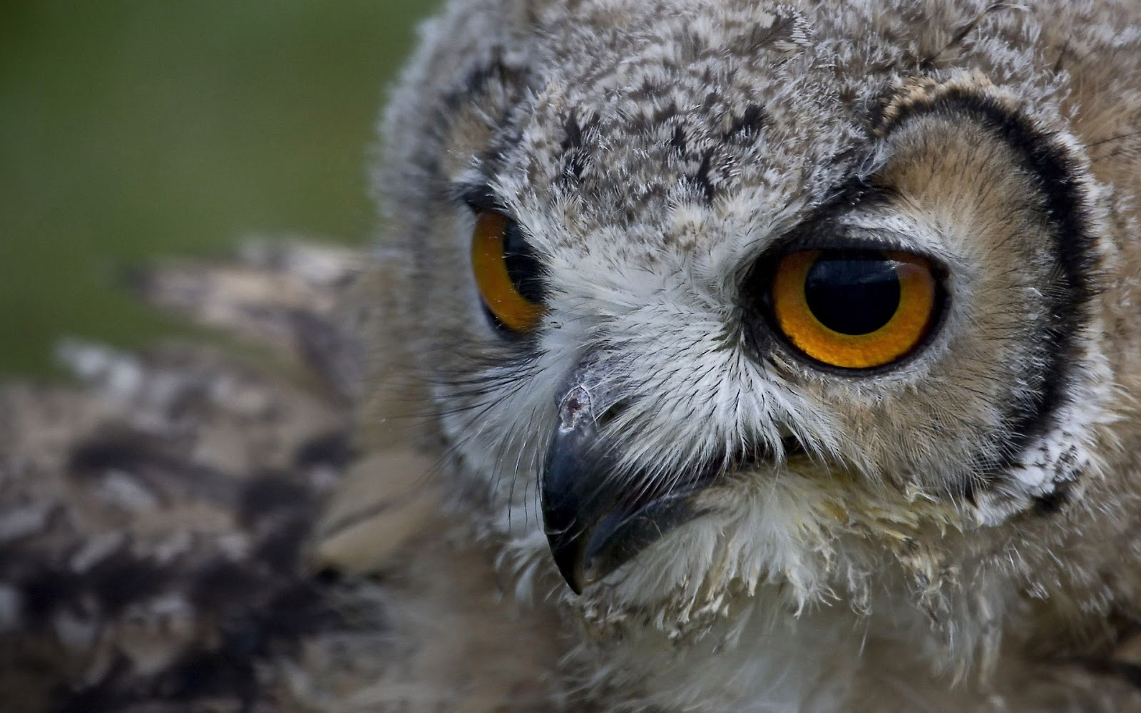 Close up photo of a owl wallpaper | HD Animals Wallpapers