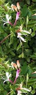 A brand new honeysuckle - L. japonica 'Princess Kate'. Named after the Duchess of Cambridge.