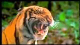 Mảnh Hổ Rừng Thiên | Thái Lan