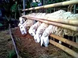 sukses ternak kambing