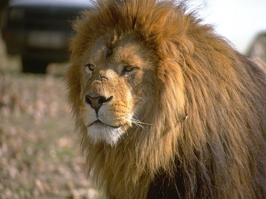 http://2.bp.blogspot.com/-15pDxNKfauA/Tb1HhtZMdEI/AAAAAAAAIAQ/1_CltDxLQB0/s1600/lion_6.jpg