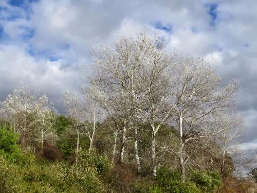 white aspen