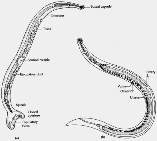 Askaridoz helminth ciclo di sviluppo - Se cè in caviale di parassiti di merlano nero