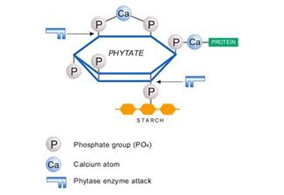 Cấu trúc của phytase.