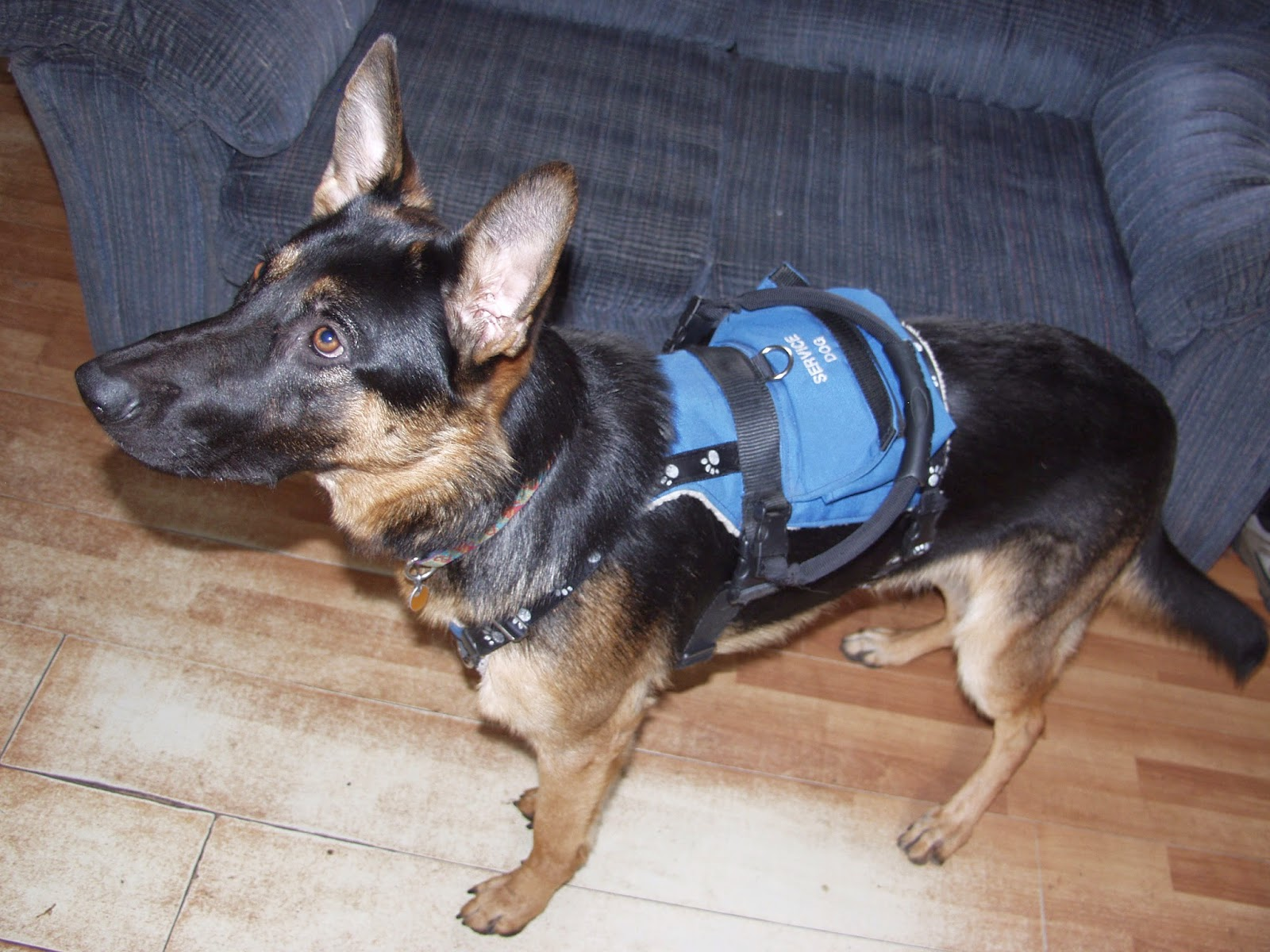 Malcolm - service dog in training