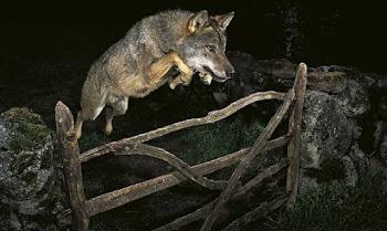 El lobo libre.