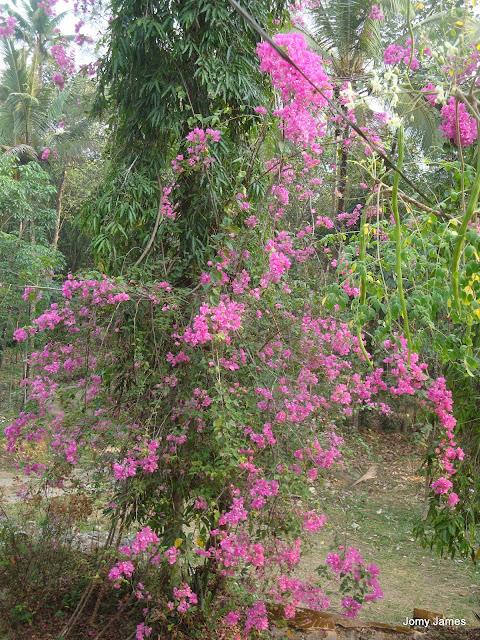Bougainvillea or Kadalasu Poovu