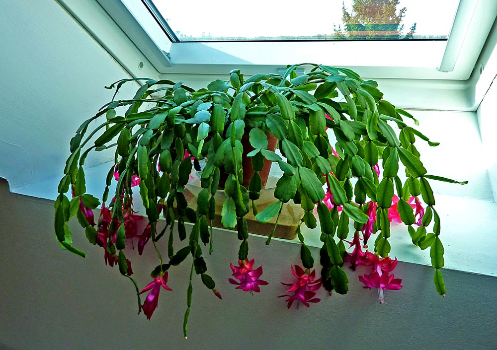 Christmas cactus quotes lol rofl com