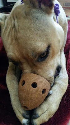 Dog with nose in toy