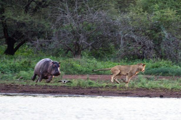 Singa lari terbirit - birit dikejar induk kuda nil