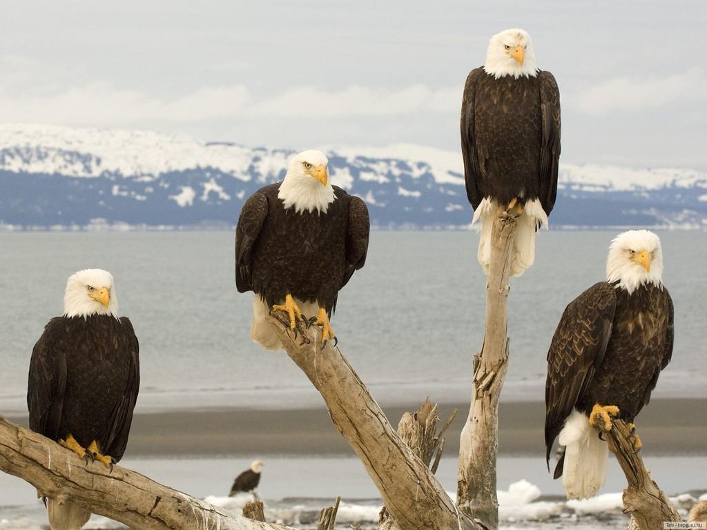 flying animal  bald eagle
