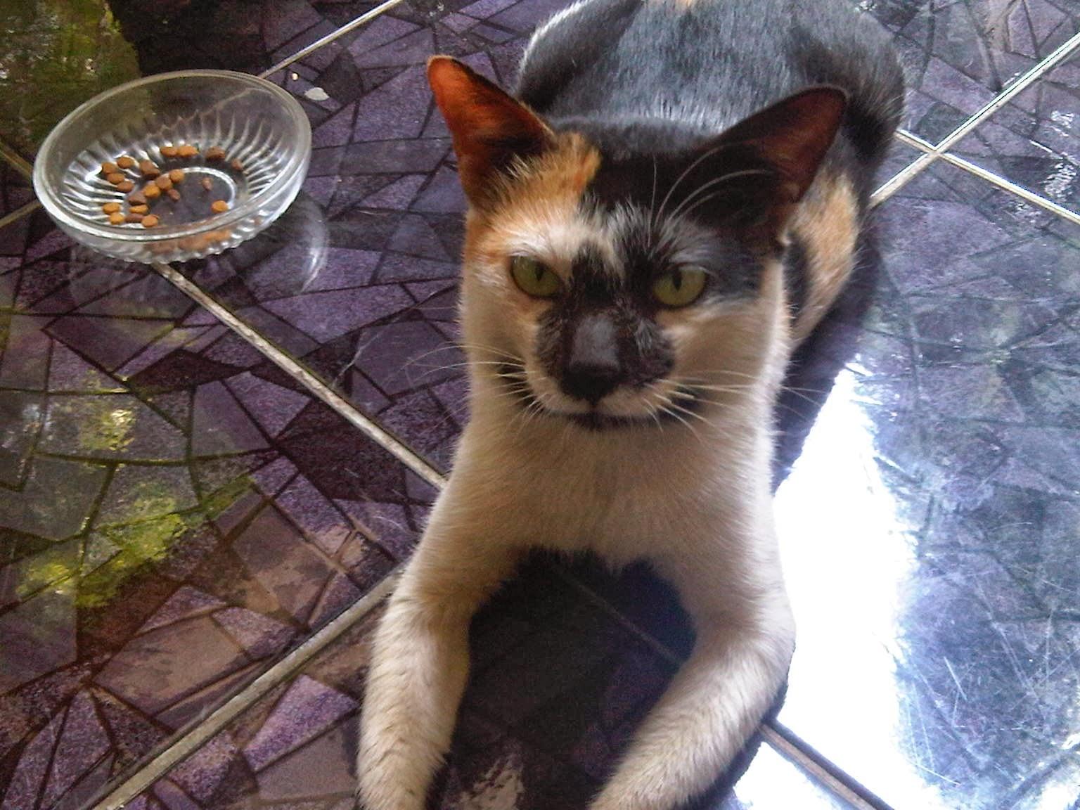 Kucing Lokal Jantan Jual Kucing Kembang Telon Jantan Jual