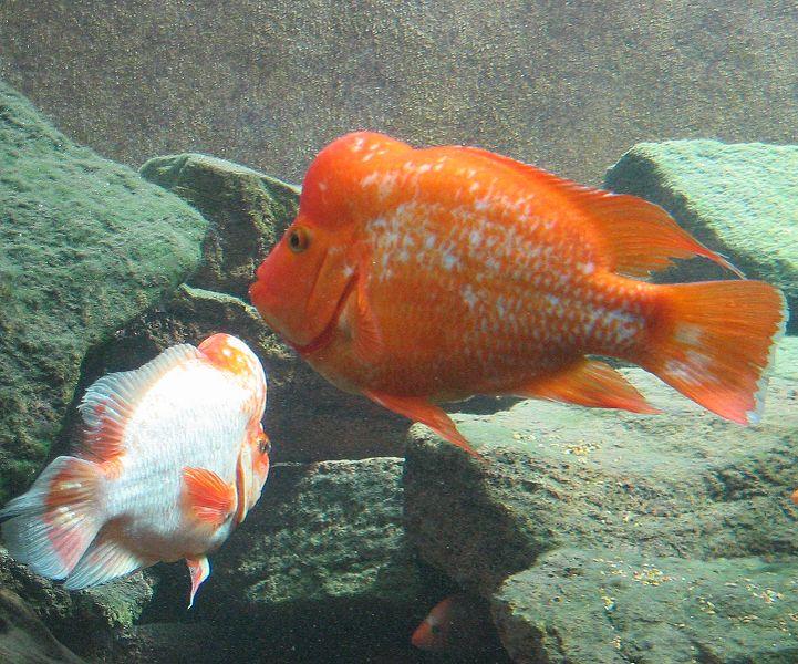 Fish pictures midas cichild red devil cichlid for Red devil fish