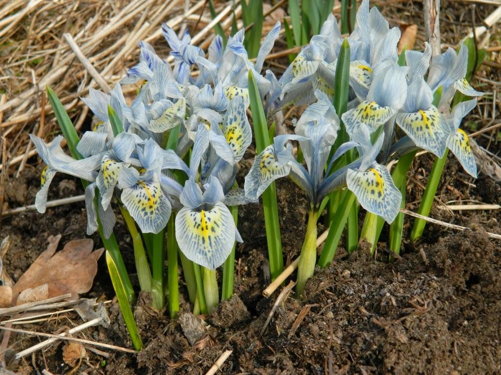 Katharine Hodgkin Iris reticulata Toronto Botanical Garden by garden muses-not another Toronto gardening blog