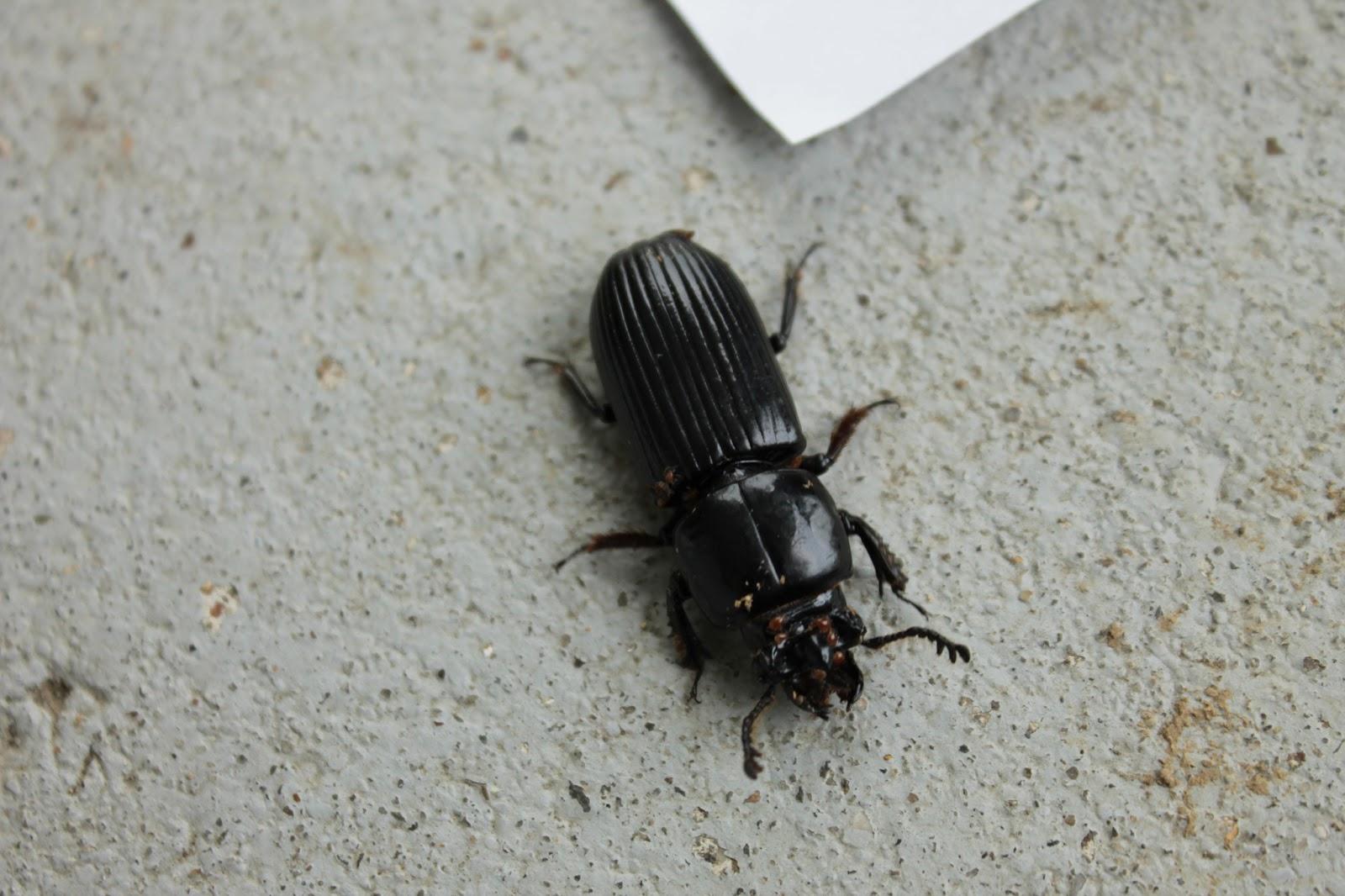 eli 39 s bug blog big black beetle with mites. Black Bedroom Furniture Sets. Home Design Ideas